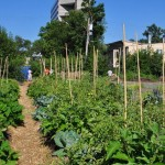 Turned Community Supported Agriculture (CSA) Urban Farm! (Photo source: Growing Lots)