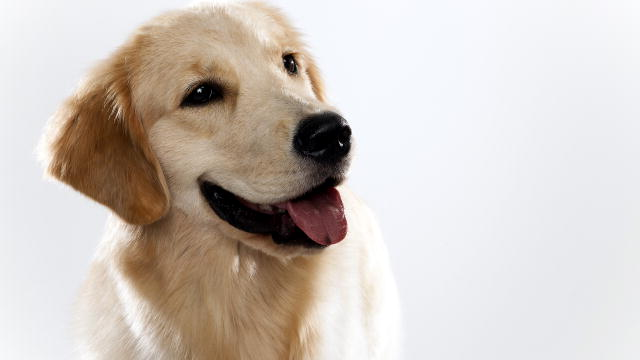 1405101252923B029WY_12670802101197_GoldenRetriever