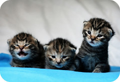 Three gray kittens with black stripes laying on a blue blanket